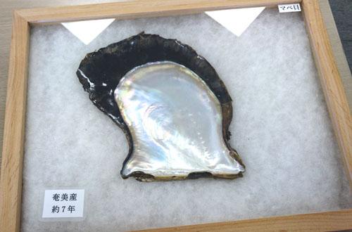 マベ貝のマベパール