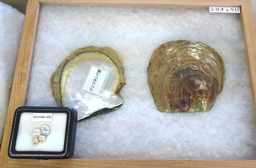 白蝶貝のパール