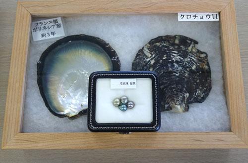 黒蝶貝のブラックパール